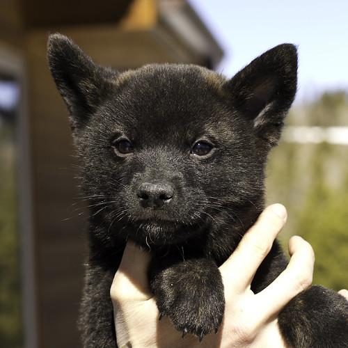 Nami-Litter1-Day54-Puppy3-Male(Hazuki)-1