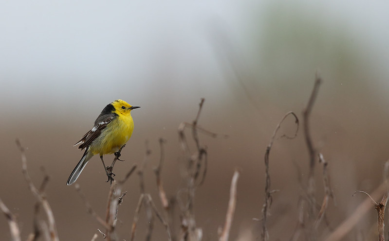 1st Summer Citrine Wagtail [male]