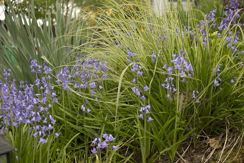 Hyacinthoides & Calamagrostis