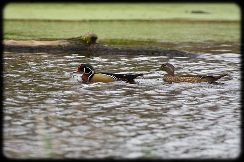 mr. & mrs. wood-duck