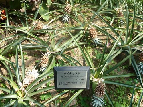 強羅公園 熱帯植物館 パイナップル