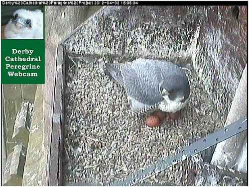 DCPP Three eggs visible  (02 04 2012_15 06 pm)