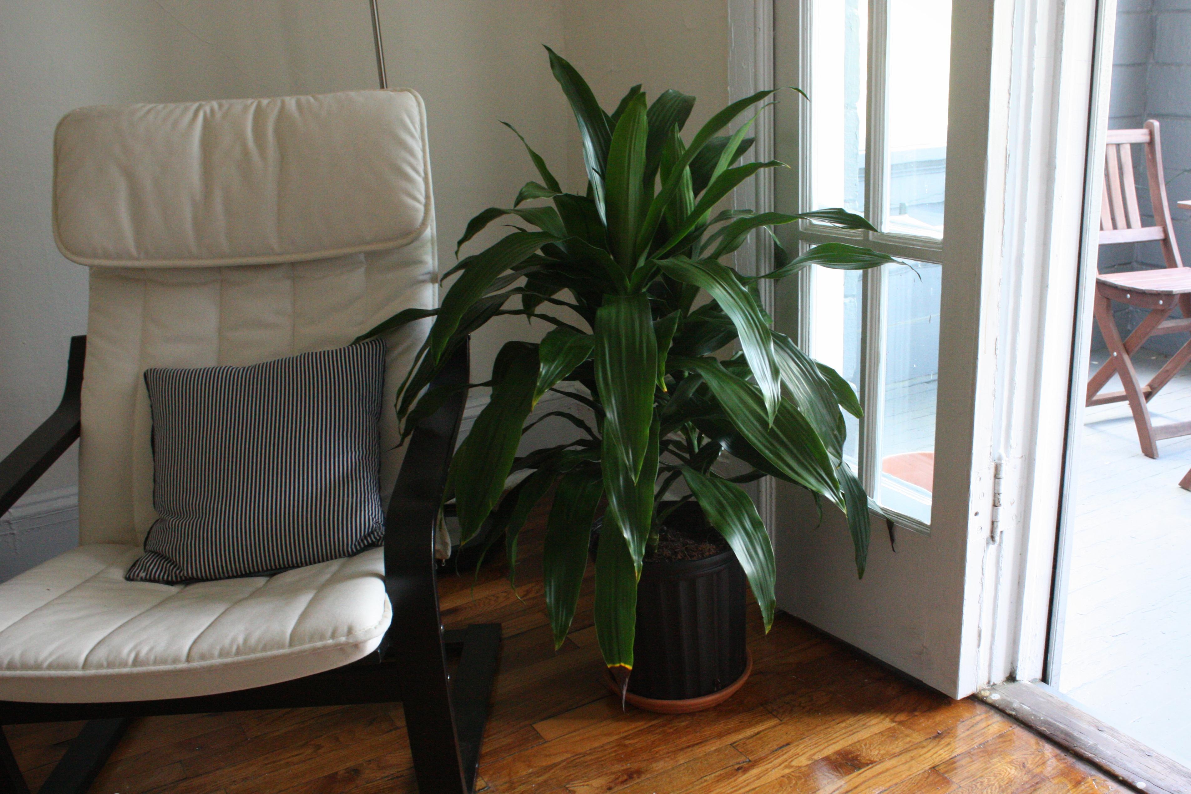 dracaena living room planter Glass and Sable
