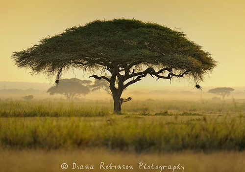kenya eastafrica amboselinationalpark acaciatortilis dianarobinson nikond3s umbrellaacaciatree