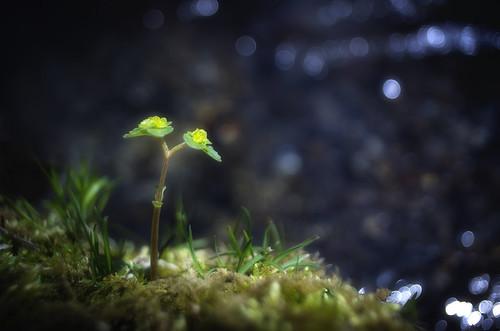 無料写真素材|花・植物|芽