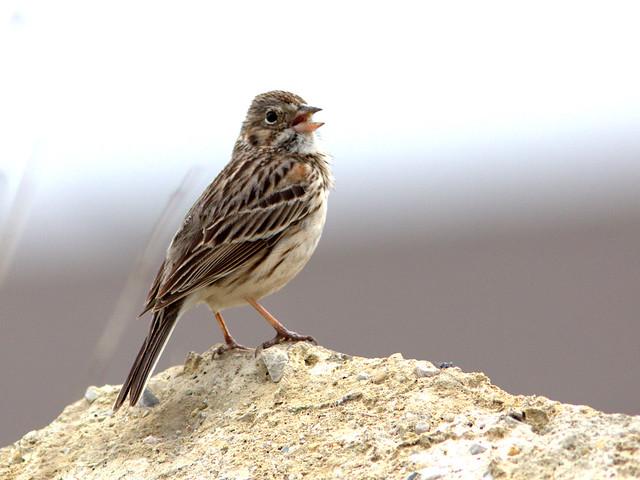 Vesper Sparrow 20120506