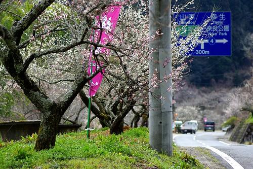 (8)梅と道路標識