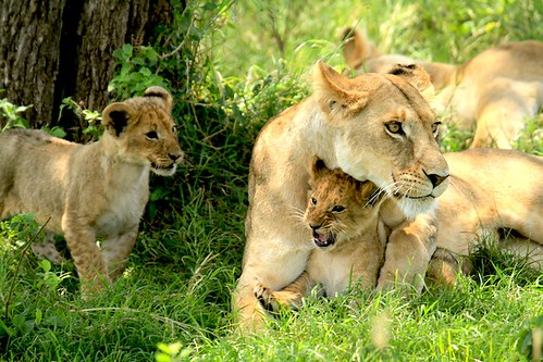 Family of Lions, Masai Mara