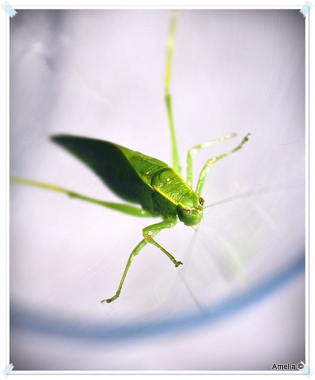 green leaf like bug microcentrum retinerve flickr. Black Bedroom Furniture Sets. Home Design Ideas