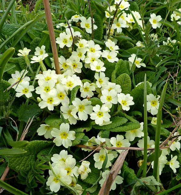 26892 - Primroses, River Coly