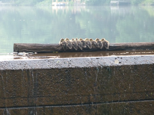 Baby Ducks sleeping on a log at the dam.
