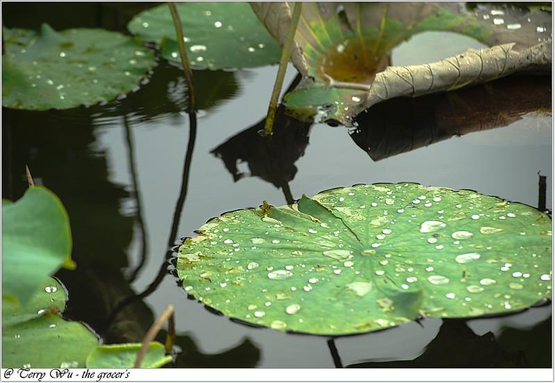 2012-06-24 三重疏洪荷花公園-3