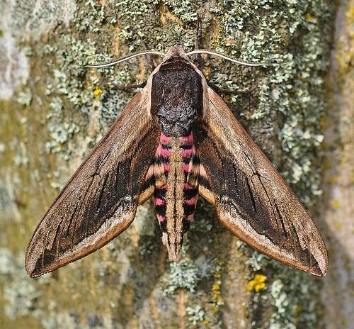 1976 Privet Hawk-moth Sphinx ligustri Pegwell Garden by Kinzler Pegwell