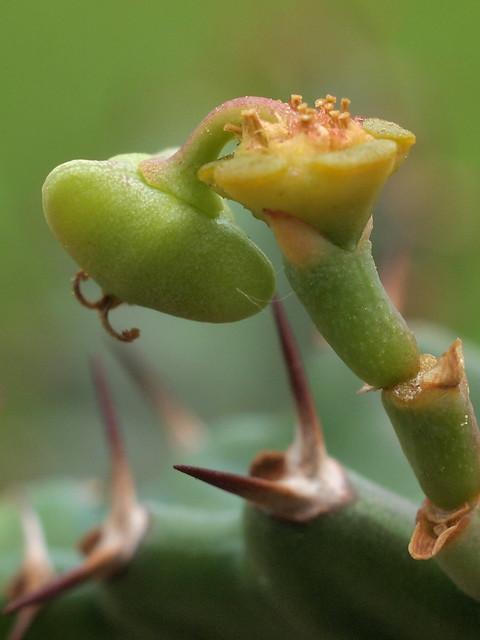 Euphorbia stellata - Frucht