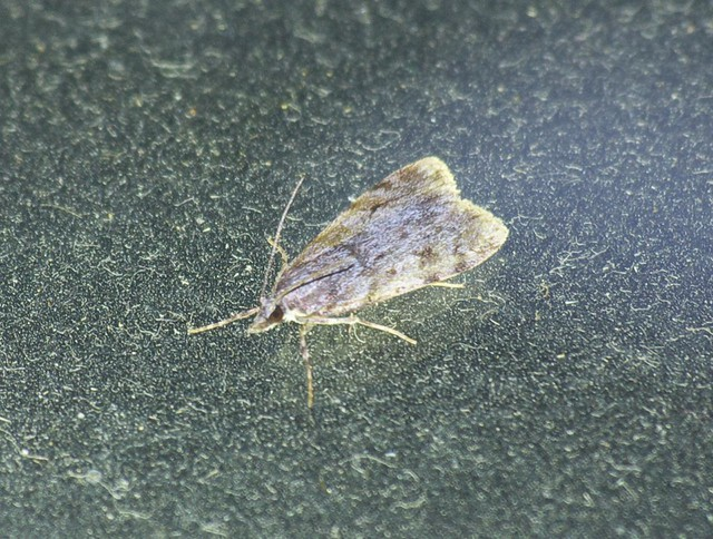 Scoparia-Eudonia sp micro moth DSC_4104