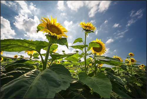 Sunflowers [ Explored ] by beppeverge
