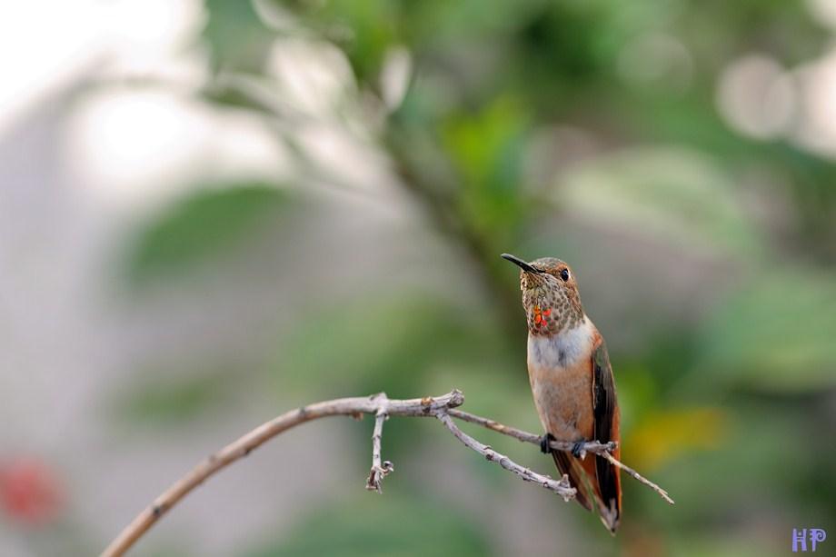 Allen's Hummingbird 072312