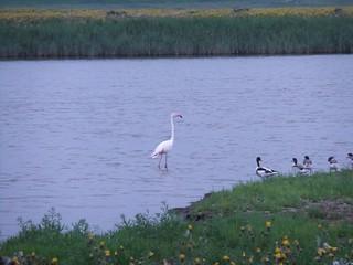 Flamingo bij de Bergsediepsluis op Tholen op 27 juli