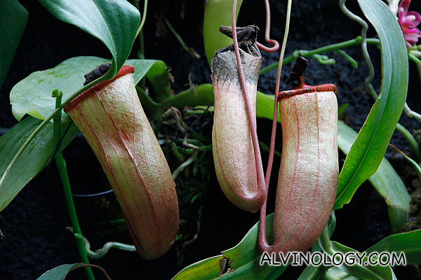 A group of three pitcher plants