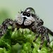 Jumping Spider w/ water drop hat (Explored) by Kezdaman