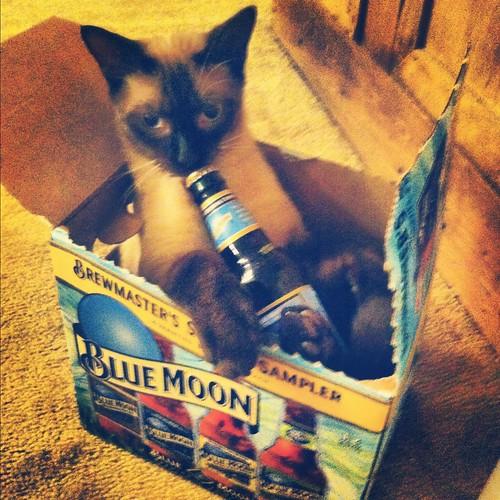 funny cat drinking blue moon beer