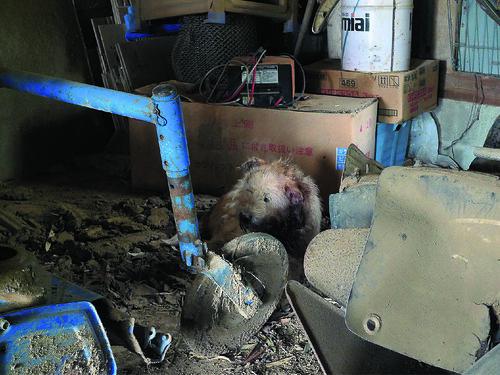 《遺留下來的動物們》P.82攝於楢葉町上繁岡。偷偷躲在倉庫角落的權太,只見牠頸部一帶 的毛都染著血跡。牠可能想躲在這裡默默死去吧。.jpg