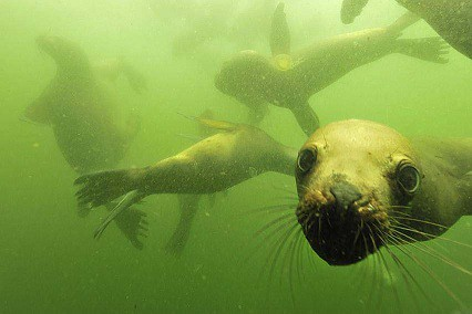Diving and Swimming with sea lions in Peru - Nature Expeditions