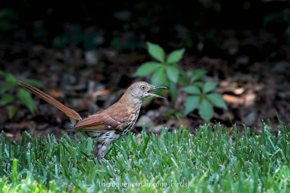 072612_03_bird_brownThrasher04