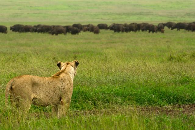 Una leona observa a los búfalos en el cráter del Ngorongoro, Tanzania.