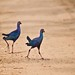 A couple of purple swamphens