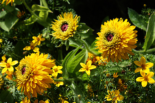 Yellow-flower-purple-center
