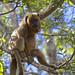 Black Howler Monkey (Dani Free)