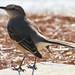 Mockingbird by Reid2008