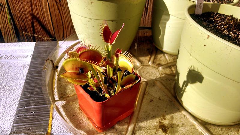 Dionaea muscipula (Venus flytrap) outside.