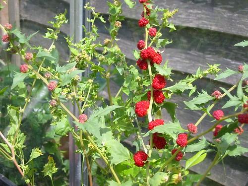 spinach blite 2005