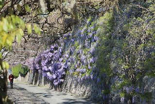 the wisteria is coming
