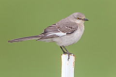 NorthernMockingbird_E3B5135-2+4x6 copy