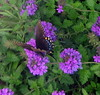 Butterfly on purple verbena