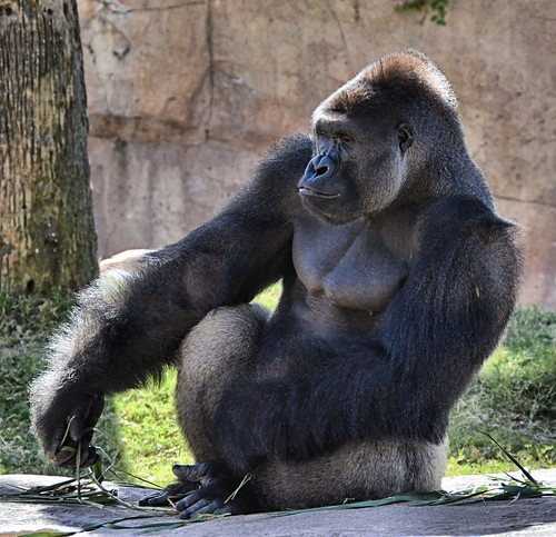 mammal texas gorilla ape primate brownsville gladysporterzoo westerngorilla gorillagorillagorilla nikond7000 nikkor18to200mmvrlens