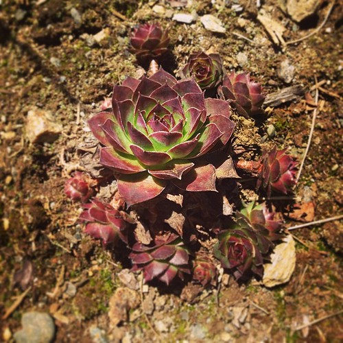 Sempervivum. #henandchicks Love the colors coming out of winter dormancy.