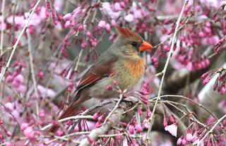 Cardinal on Cherry Tree