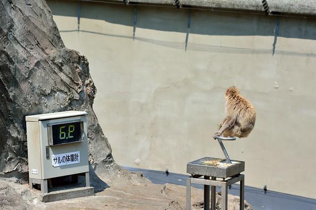 体重計に乗る上野動物園サル