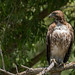 Beautiful Hawk, A Highlight of the Day!