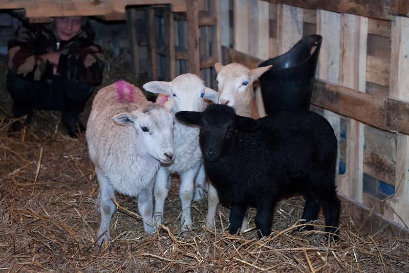 Lambs-0088.jpg