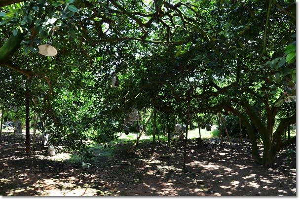 Tambun Pomelo Farm 2