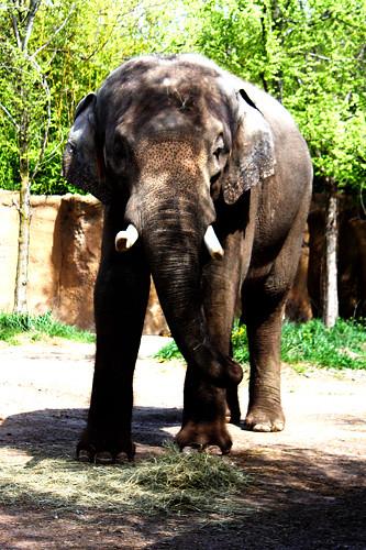 Elephant-spots