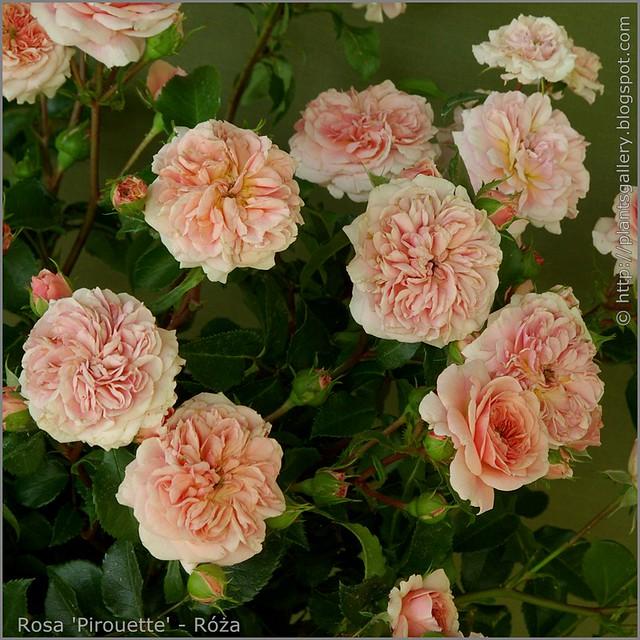 Rosa 'Pirouette' - Róża 'Pirouette'