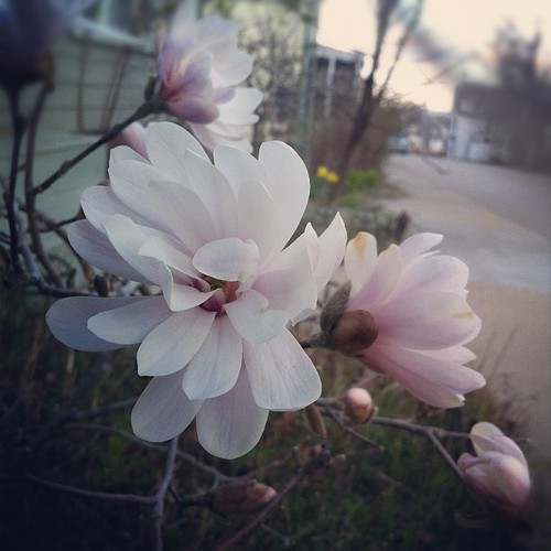 the Star magnolia has bloomed a month early #maine #mainecoast
