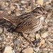 Lincoln's Sparrow - Photo (c) Kelly Colgan Azar, some rights reserved (CC BY-ND)