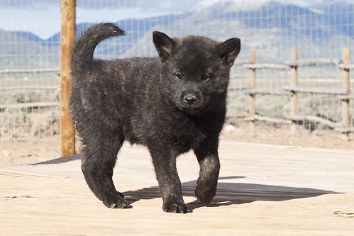 Ayu-Litter1-Day47-Puppy2-Female(Sachi)-c